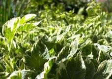 Aegopodium podagraria Stock Image