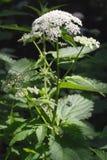 aegopodiumblomman goutweed podagraria Arkivfoto