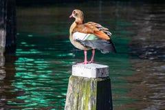 Aegyptiaca égyptien d'Alopochen d'oie se tenant sur un poteau en bois au centre d'un canal à Amsterdam, Pays-Bas photos stock