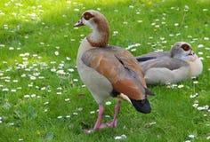 Aegyptiaca egipcio de Alopochen del ganso en la hierba en un parque Foto de archivo