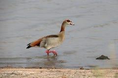 aegyptiacus alopochen egipskiej gąski Fotografia Stock