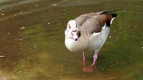 Aegyptiacus egipcio de Alopochen del ganso almacen de metraje de vídeo