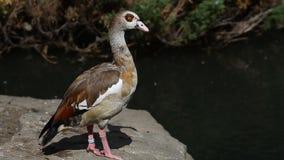 Aegyptiacus egipcio de Alopochen del ganso del pato grande del bugWild almacen de video