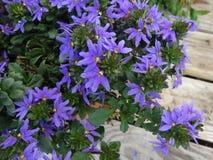 Aemula 'azul de Scaevola del pote del top' Fotos de archivo