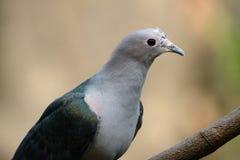 Aenea imperial verde de Ducula de la paloma Foto de archivo libre de regalías