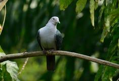 Aenea imperial verde de Ducula de la paloma Imagen de archivo libre de regalías
