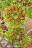 Aeonium Royalty Free Stock Photo