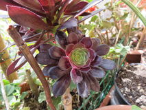 Aeonium stockfotos