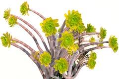Aeonium arboreum Stock Images