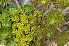 Aeonium arboreum, auch genannt Baum houseleek, Iren stieg, succul Stockbild