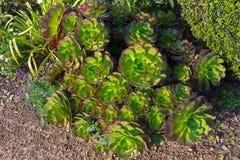 Aeonium arboreum Baum houseleek, saftige Anlage der Irenrose herein Lizenzfreie Stockfotografie