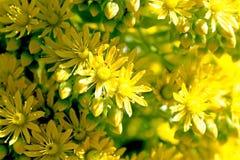 Aeonium arboreum, Feuerrad-Wüstenrose Lizenzfreie Stockfotografie