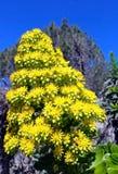 Aeonium arboreum, Feuerrad-Wüstenrose Stockfoto