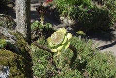 Aeonium arboreum ist dekorativer Succulent im botanischen Garten Stockfoto
