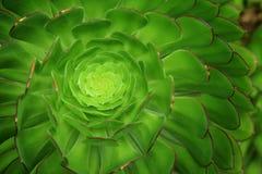 Aeonium arboreum kwiat, wyspy Scilly, Anglia Fotografia Royalty Free
