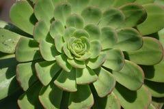 Aeonium Arboreum Plant Royalty Free Stock Image