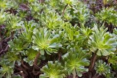 Aeonium arboreum Stock Image