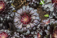 Aeonium Arboreum Zwartkop Lizenzfreie Stockfotografie