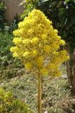 Aeonium Baum-houseleek Lizenzfreies Stockfoto