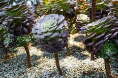 Aeonium, Baum houseleek Lizenzfreies Stockfoto