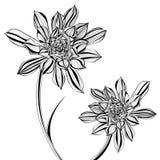 Aeonium-Baum mit Blumen in Schwarzweiss Lizenzfreies Stockfoto