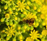 Aeonium and bee. Bee amidst the small flowers of aeonium Royalty Free Stock Photography