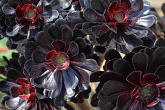 Aeonium Black Rose flowers. Close-up of a succulent burgundy-black flower, the Aeonium Arboreum - this subtropical plant is also known as Zwartkop or Black Rose Stock Images