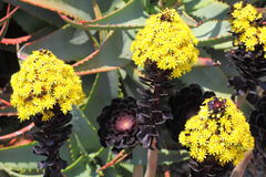Aeonium Black Rose flowering. The Aeonium Arboreum Zwartkop holding bright yellow flowers in large racemes from the centres of their main rosettes (Botanic Stock Photo