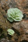Aeonium canariense Stockfotos