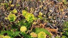 Aeonium canariense Verode-Kaktuspflanze Stockfotos