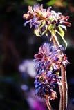 Aeonium colorido hermoso en fondo negro en primavera Fotografía de archivo