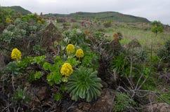 Aeonium con las flores Fotos de archivo libres de regalías