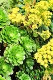 Aeonium da ?rvore, planta suculento do arboreum do aeonium sob o sol imagem de stock