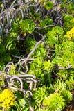Aeonium decorativo suculento imperecedero de la planta Fotografía de archivo
