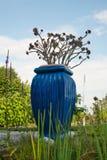 Aeonium del árbol en un pote azul Imagen de archivo libre de regalías