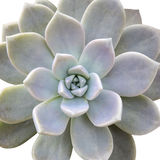 Aeonium diplocyclum plant, isolated Royalty Free Stock Images
