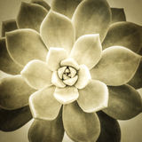 Aeonium diplocyclum plant wit texture Royalty Free Stock Images