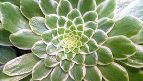 Aeonium 'Emerald Ice' Imagen de archivo libre de regalías
