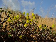 Aeonium en la plena floración Imagen de archivo libre de regalías