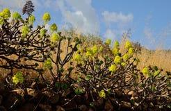 Aeonium en la plena floración Fotografía de archivo
