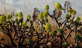 Aeonium en pleine floraison Images stock