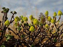 Aeonium en pleine floraison Photographie stock libre de droits