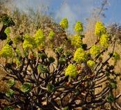 Aeonium en pleine floraison Images libres de droits
