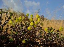 Aeonium en pleine floraison Image libre de droits