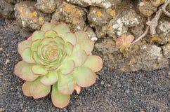 Aeonium, flor típica de las islas Canarias (EL Hierro) Imagenes de archivo
