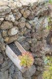 Aeonium, flor típica de las islas Canarias (EL Hierro) Imagen de archivo
