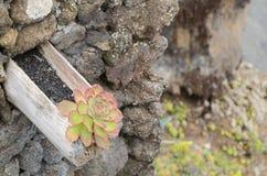 Aeonium, flor típica de las islas Canarias (EL Hierro) Imagen de archivo libre de regalías