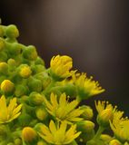 Aeonium flowers. Beautiful wild flowers of aeonium undulatum Royalty Free Stock Photography