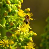 Aeonium flowers and bee. Aeonium wild flowers and bee Royalty Free Stock Images