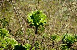 Aeonium géant, Îles Canaries Photographie stock